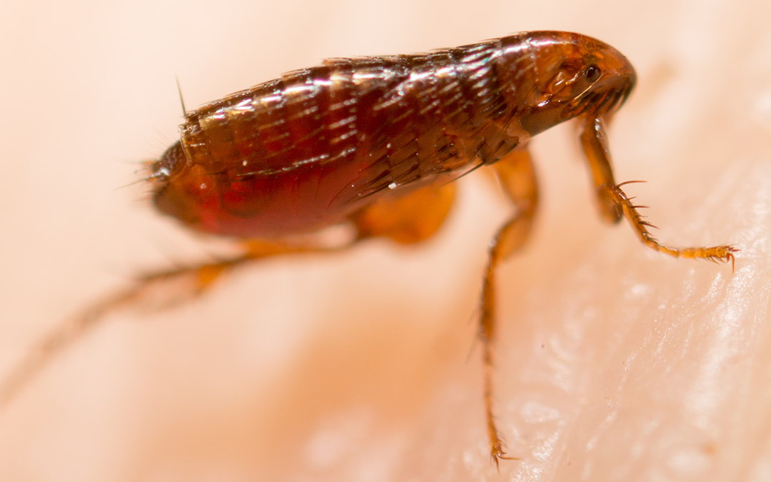 Signs You May Have a Flea Infestation in Your Home