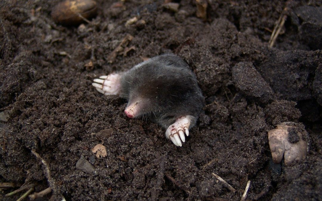 What Are The Commercial Remedies for Getting Rid of Moles